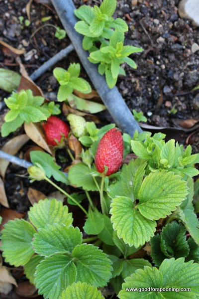 Strawberries - see the black hose? Part of the in ground adjustable irrigation system.